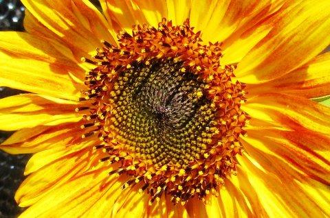 FOTKA - střed slunečnice