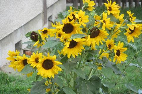 FOTKA - drobné slunečnice
