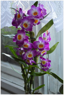 FOTKA - krásná barva orchidejky