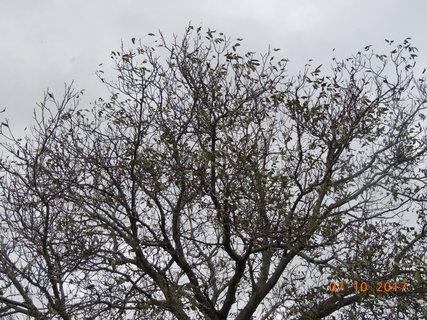 FOTKA - Ořech už 7.10. byl skoro bez listí