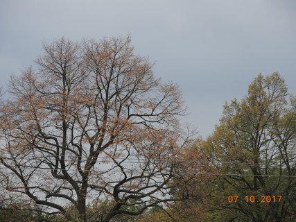 FOTKA - Některé lípy se nezbarvily a rovnou shodily listí 7.10.