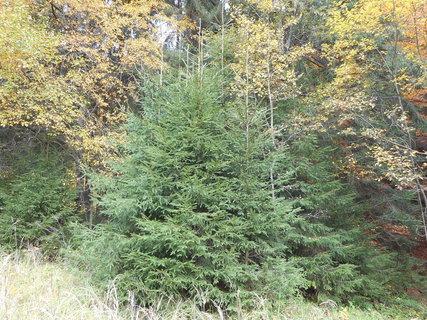 FOTKA - Pěkné smrkové stromečky