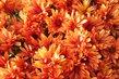 hezké chryzantemy