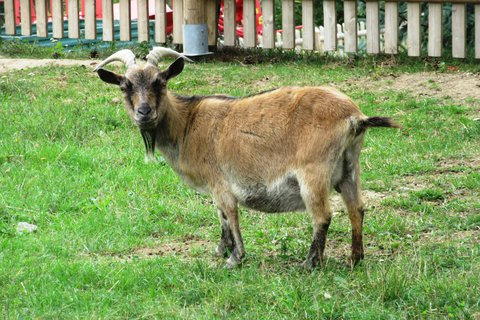 FOTKA - rohatý kozel