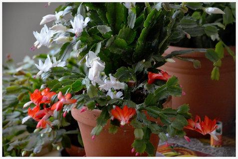 FOTKA - vánoční kaktusy si pospíšily