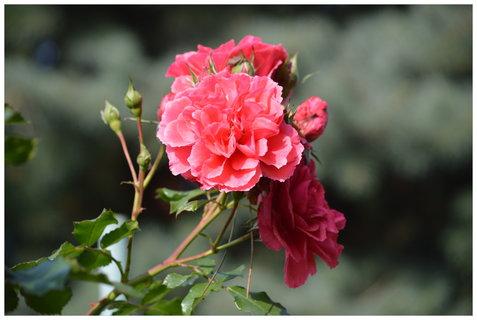 FOTKA - poslední růžičky na zahradě