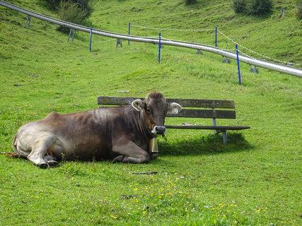 FOTKA - To není česká kráva
