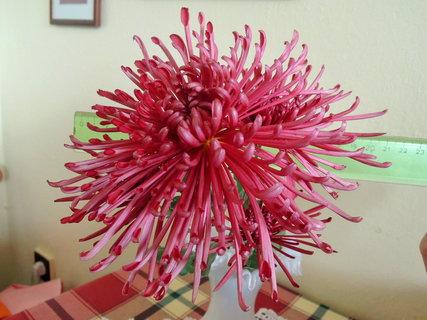 FOTKA - listopadka,20 cm obrovská, květ  má trubičkové  lístky