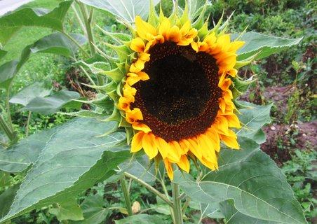 FOTKA - v září-slunečnice