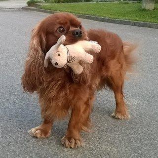 FOTKA - dcérin psík Orlando -  moja hračka - nedám  nikomu....