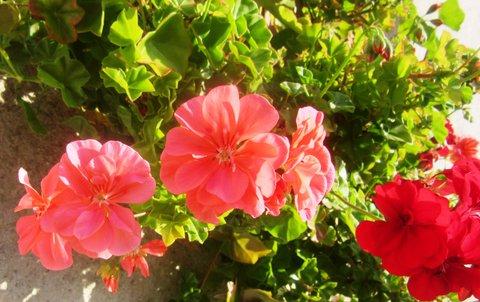 FOTKA - Říjnové květy muškátu