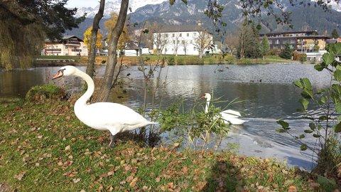 FOTKA - Podzimní procházka okolo Ritzensee - Labuť