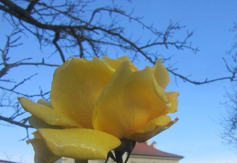 FOTKA - koncem listopadu růže na zahradě