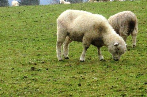 FOTKA - ovce na pastvě