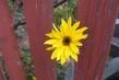 Kukuč mezi plotem