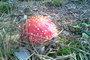 Muchomůrka - červená kloboučnice