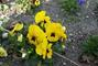 kvety macesek