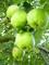 Jablka II