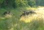 Mufloni u lesa