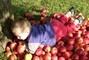 Úrody jablek