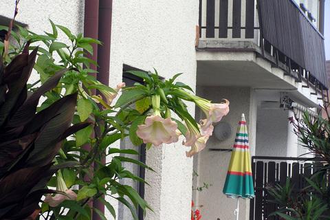 FOTKA - květy Datury