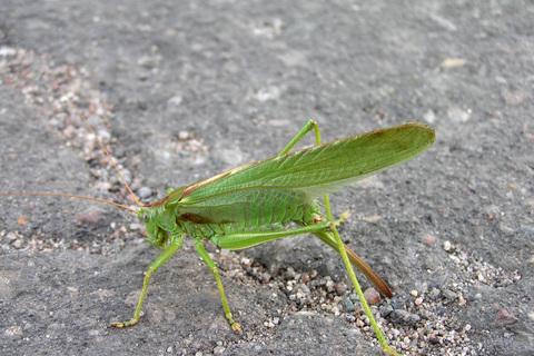 FOTKA - zelená kobylka