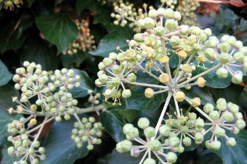 FOTKA - květ břečtanu