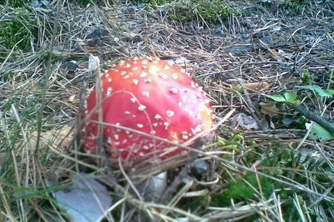 FOTKA - Muchomůrka - červená kloboučnice