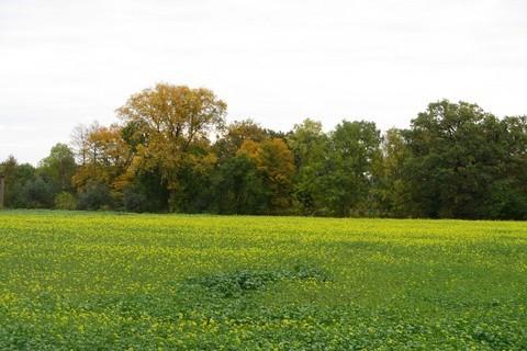FOTKA - Hříčka přírody, rozkvetlá řepka a podzim