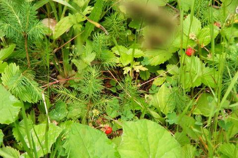 FOTKA - jahody lesní