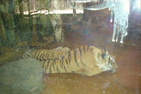 FOTKA - tygřík za sklem