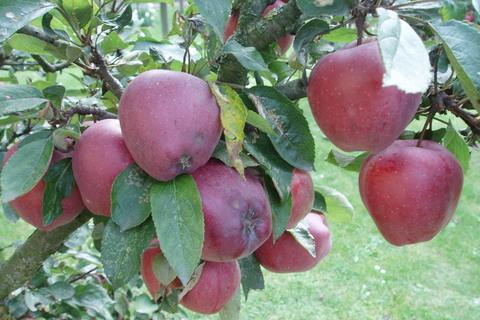 FOTKA - jablka ,,