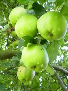 FOTKA - Jablka II