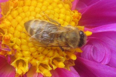 FOTKA - V září foceno-včelka