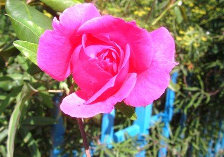 FOTKA - Letní růže růžová