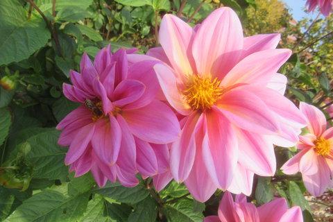 FOTKA - v říjnu foceno na zahradě..jiřinky