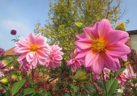 FOTKA - na zahradě v říjnu kvetly jiřinky