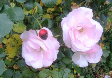 FOTKA - V listopadu foceno..růže