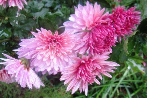 FOTKA - listopadové růžové chryz.