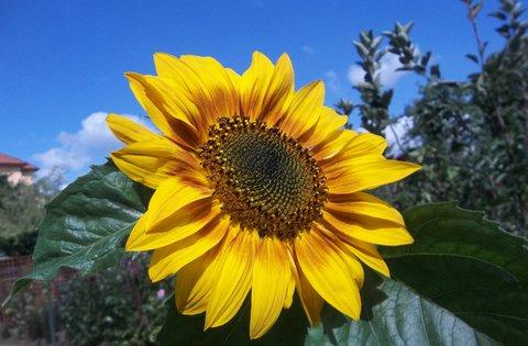 FOTKA - letní foto..slunečnice