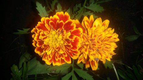 FOTKA - dva noční květy