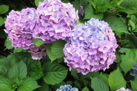 FOTKA - hortenzie když kvetly