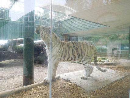 FOTKA - Tygří samec se chystá vyskočit na sloup