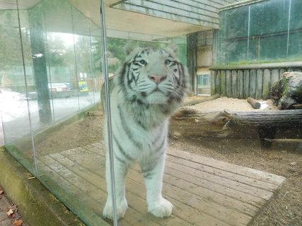 FOTKA - Jedno z loňských tygřích koťat