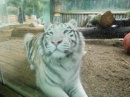 FOTKA - Tygří sourozenci - každý na jiném místě výběhu