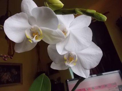 FOTKA - bílá doma kvetoucí