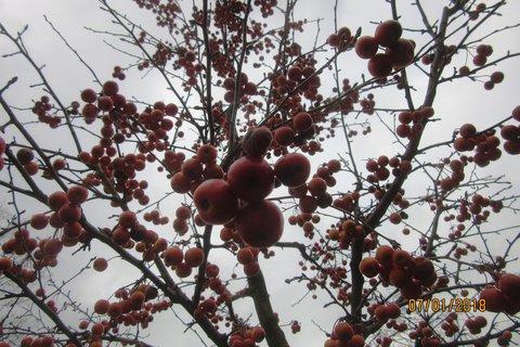 FOTKA - plno ozd. jablíček