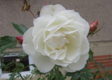 FOTKA - bílá růžička listopadová
