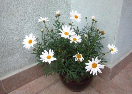 FOTKA - bílá listopadová v květináči