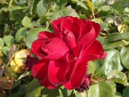 FOTKA - septembrová ruža